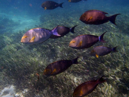 Herbivorous fishes (Acanthuridae, Surgeonfish) swimming by a seagrass bed. Photo credit Angelica Chirico