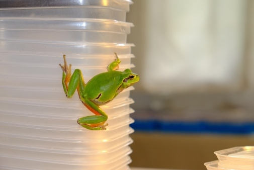 A Chernobyl tree frog (Hyla arborea) in the lab